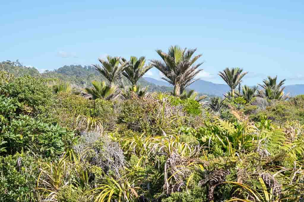 Die Nikau Palme ist eine endemische Pflanze in Neuseeland.